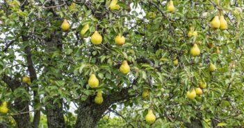 3 punten om op te letten vóór het kopen van een perenboom